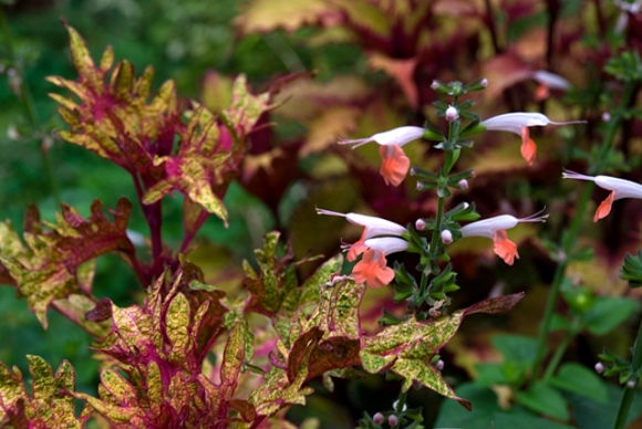 Salvia and coleus