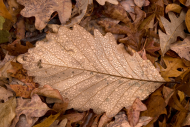Dewy oak leaf