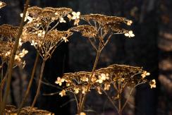 Hydrangea aborescens