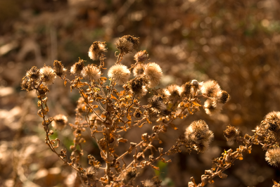 Cluster of seedheads