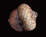 image of acorn