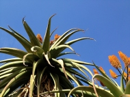 Aloe tree tops