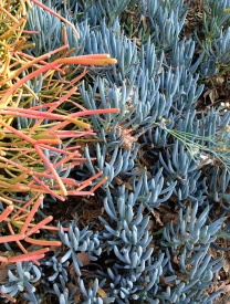Coral & blue aloes