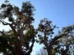 Melalueca tree