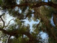melaleuca tree detail