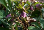 Image of Hellebore plant