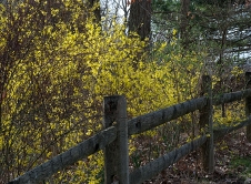 Forsythia along fence