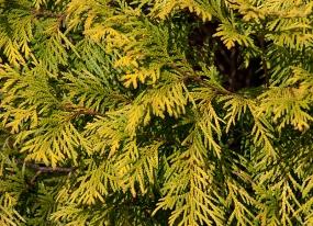 Gold Arborvitea