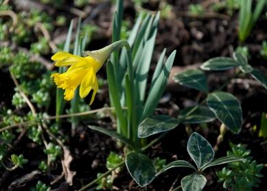 'Tete a Tete' daffodil