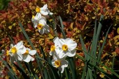 Daffodil and Spirea