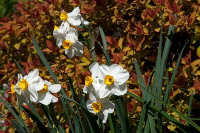 Daffodil and Spirea