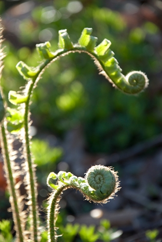 Fern Head Unfolding