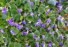 Frosty Violets