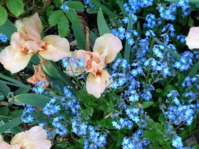 Peach iris and forget-me-nots