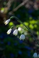 Snowbell Blossoms