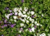 Snowy violets