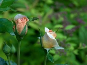 Apricot Rosebuds