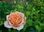 Rose Folksinger