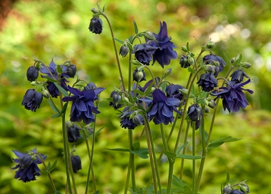Columbine Barlow Blue
