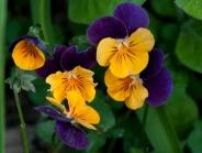 Purple Violas