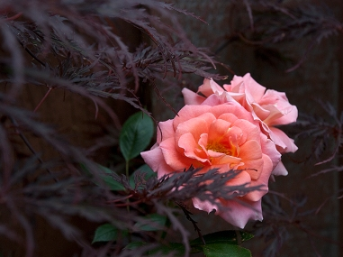 Rose Work of Art