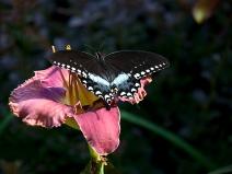 Black swallowtail on Evermore Edge