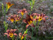 Brown Witch daylily