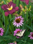 Nosferatu, Echinacea, Swallowtail