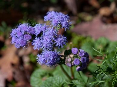 Ageratum 'Blue Horizon'