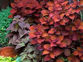 Coleus and red Ipomea