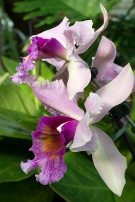 Showy orchid flowers