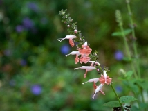 Salvia coccinea Brenthurst