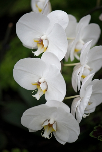 White orchids are a feature in the Sunken Garden
