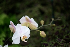 Blush pink spray of orchids