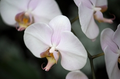 Blush pink orchid blossom
