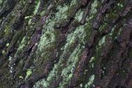 Lichen on Oak