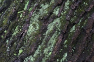 Lichen on Oak