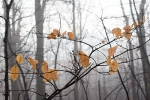 Leaves in misty woods