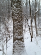 Snowy tree trunk
