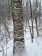 Snowy tree trunk