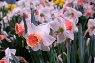 'Chromacolor' daffodils