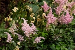 Pink astilbes in Greenhouse garden