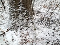 Snowy tree roots