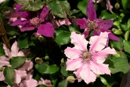 Clematis 'Cherokee' & 'Amethyst Beauty'