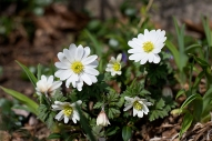 Anemone blanda White Splendour
