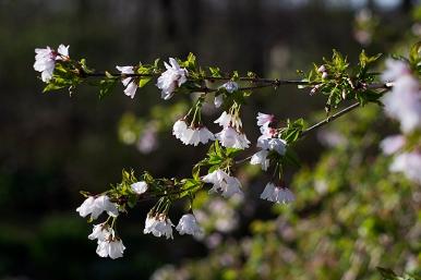 Snow Fountain cherry blossom