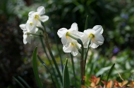 Daffodils in the light