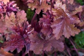 Heuchera Foliage