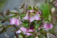 Rose striped hellebore