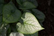 Brunnera leaf